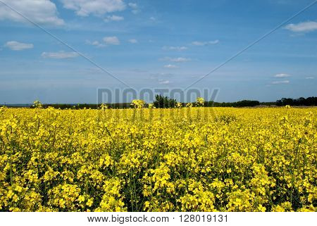 Field sown by rape yellow sky clouds trees