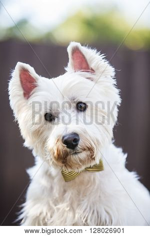 Westie posing outdoors with a bow tie