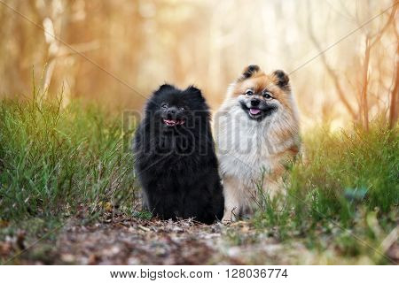 two adorable spitz dogs posing outdoors together