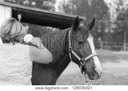 older Arabian  brown and white mature horse in pasture being brushed by woman black and white
