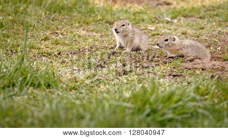Two baby gopher looking in the distance.
