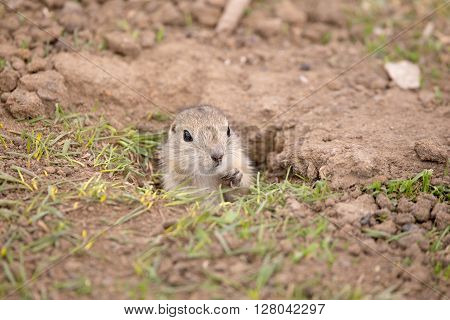 Baby gopher peaking out of its hole.