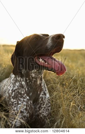 German Shorthaired Pointer with panting tongue in field.