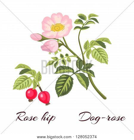 Dog-rose branch with leaves and flowers. Wild rose. Rosa canina. Rose hip also known as rose haw or rose hep.Vector illustration.