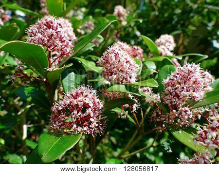 Japanese Skimmia Skimmia japonica rubella blooming, red pink flowers