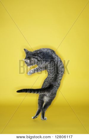 Gray striped cat twisting in air on yellow background.