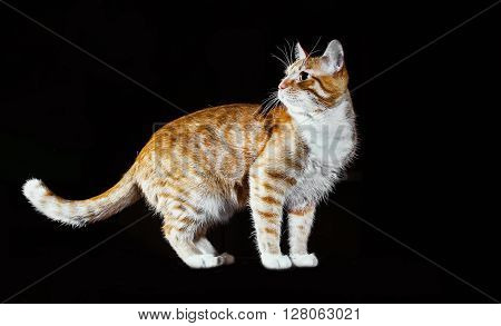 Ginger kitten, coyly lift the front foot, orange tabby cat, side view