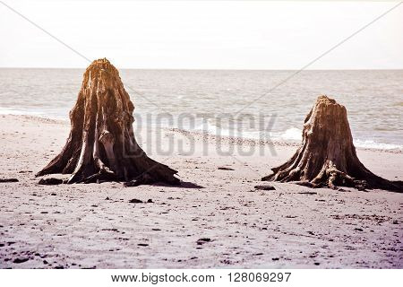Dead tree trunks. Rare 3000 years old dead deciduous trees on the beach located in Slowinski National Park Poland Baltic sea.