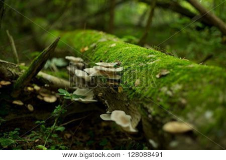 Honey agarics have sprouted on the tumbled-down tree. Around the moss grows.