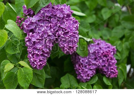 A close-up shot of clusters of Yankee Doodle french lilacs after rain
