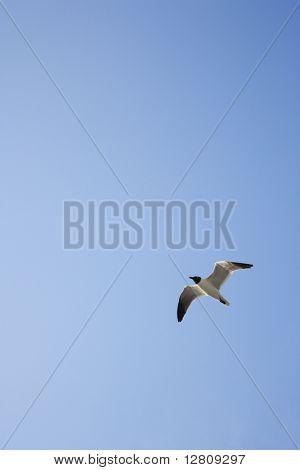Black-headed Gull in flight on Bald Head Island, North Carolina.