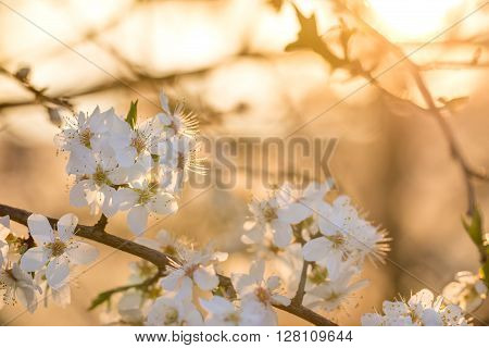 Greengage White Flowers Fruit Tree at Sunset