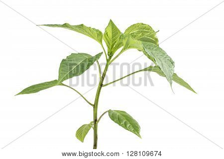 Detail on a Seedling Paprika (Capsicum Peppers) Plant Vegetable isolated on White Background