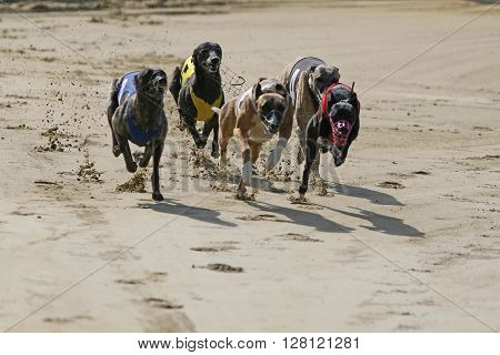 Purebred  Greyhounds Runs On Race Track