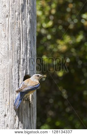 Female Western Bluebird carrying a cricket in her beak to feed her babies in the nest.