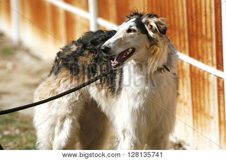 Side View Portrait Of A Purebred Russian Wolfhound Dog