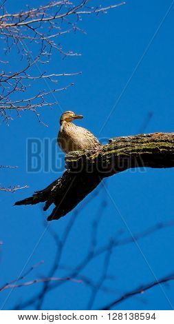 Wild female duck sitting on the tree branch