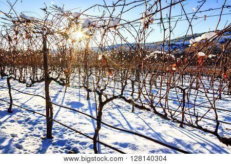 Snow covered vineyard near Cottonwood, Arizona