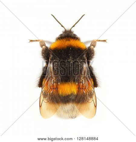 The Bumblebee or Bumble Bee (Bombus terrestris) is important pollinator of both crops and wildflowers. Bumblebees are increasingly cultured for agricultural use. Insect isolated on white background.