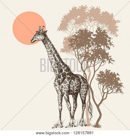Safari sunset background, nature scenery, trees and giraffe