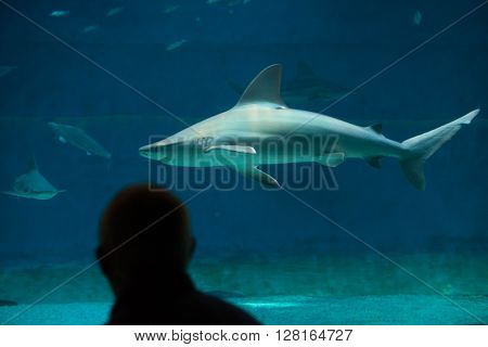 GENOA, ITALY - MARCH 22, 2016: Visitor observes as sandbar sharks (Carcharhinus plumbeus) swim in the Genoa Aquarium in Genoa, Liguria, Italy.