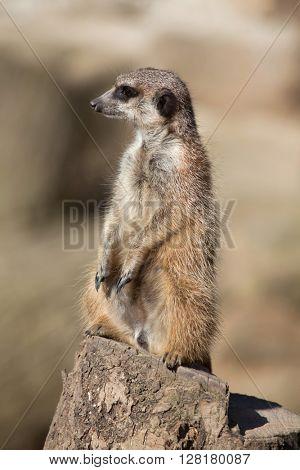 Meerkat (Suricata suricatta), also known as the suricate. Wild life animal.