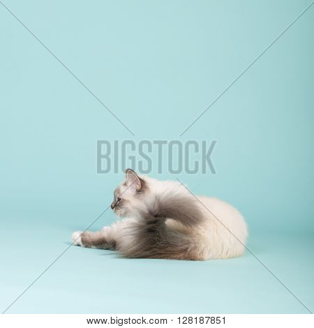 Portrait Birman cat on blue background