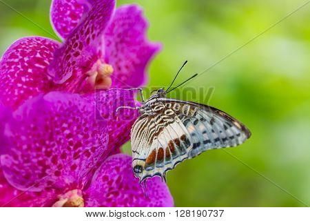 Beautiful Charaxes castor castor perching on orchid flower. Close-up.