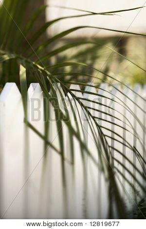 Palm frond leaf hanging over white picket fence on Bald Head Island, North Carolina.