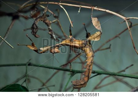 Giant prickly stick insect (Extatosoma tiaratum), also known as the Australian walking stick. Wild life animal.
