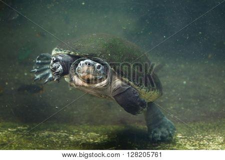 Malaysian giant turtle (Orlitia borneensis), also known as the Bornean river turtle. Wild life animal.
