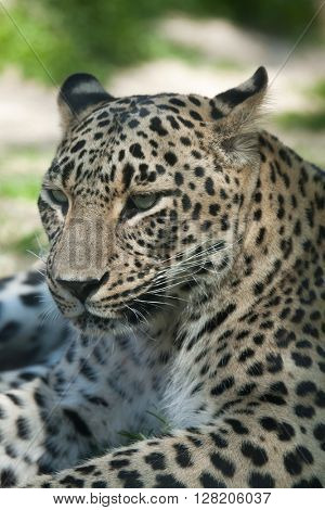 Persian leopard (Panthera pardus saxicolor), also known as the Caucasian leopard. Wild life animal.