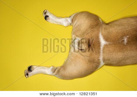 Hind legs of English Bulldog laying on yellow background.