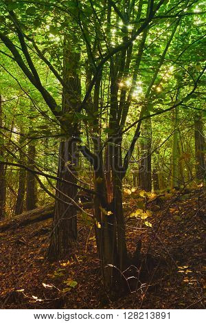 Enchanted forest. Sun rays penetrating the forest green and brown leaves.