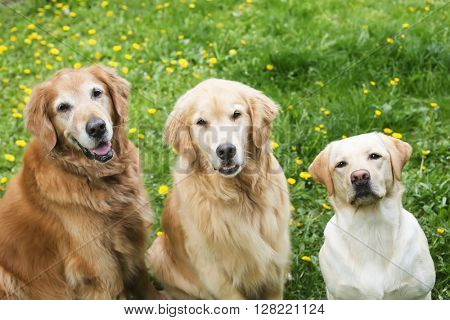 Happy Golden Retriever and Lab Pack