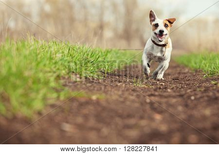 Running dog at summer. Jumping fun and happy pet walking outdoors.