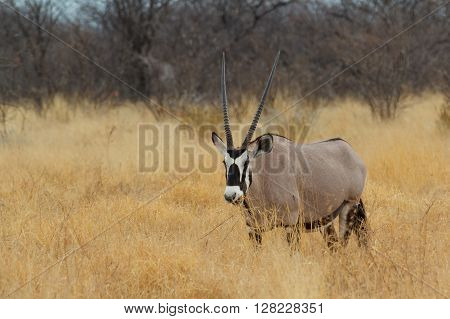 Gemsbok In Savanna, Oryx Gazella
