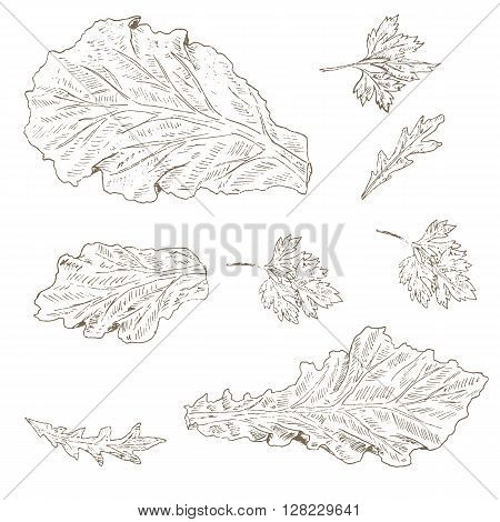 Lettuce leaf, arugula, parsley set. Sketch lettuce leaf. Hand drawn lettuce leaf, arugula and parsley . Vector Lettuce leaf illustration. Organik vegetable set. Vegetarian and vegan food.