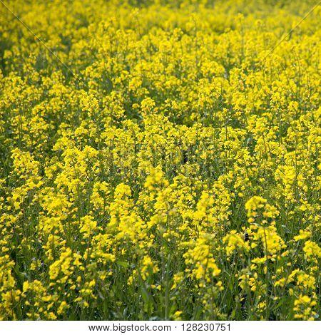 Brassica Napus Yellow Plant