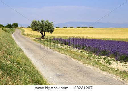 Landscape of Southern France: Provence fields, lavender and wheat
