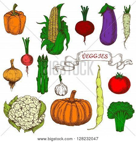 Organically grown ripe tomato, sweet beet, orange bell pepper and pumpkin, pungent garlic, onion and radish, fresh corn cob and pod of bean, eggplant, broccoli, asparagus, daikon and cauliflower vegetables bright vivid sketch icons. Use as agriculture des
