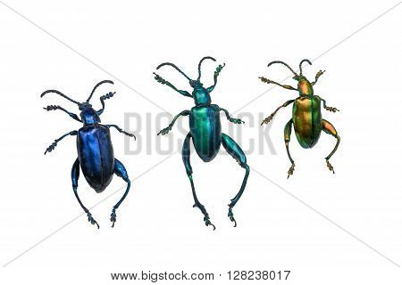 collection of ground beetles (carabidae) isolated on white background