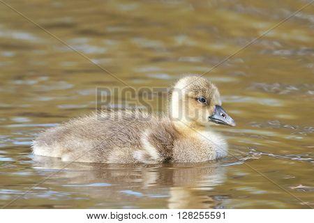 Litte fluffy Greylag gosling swimming in its habitat