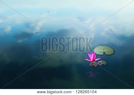 Pink lotus in water lake a waterlily Lotus emerges over water