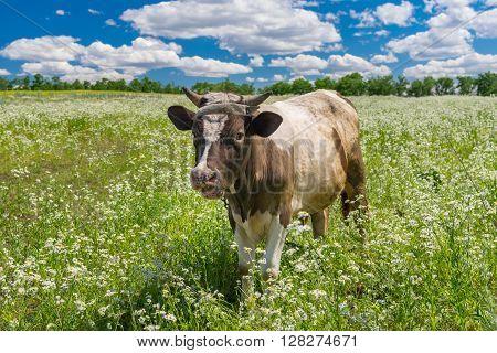 Cute Ukrainian bull-calf welcomes you in its summer erigeron annuus flower field