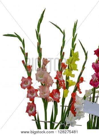 Gladiolus Flowers On Right