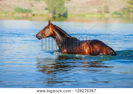Beautiful brown stallion standing chest-deep in the water of the lake on a neutral background. Horse swims in the pond in the summer.