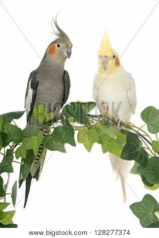 cockatiel on ivy in front of white background