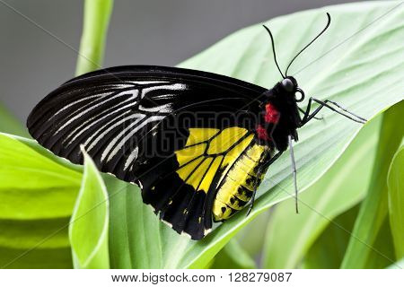 Black and yellow butterfly of Cenatral America, Costa Rica