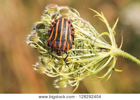 Graphosoma lineatum, Shield bug from Lower Saxony, Germany